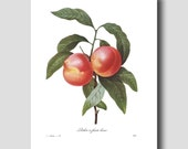 "French Country (Kitchen Decor, Fruit Wall Decor) ""Nectarines Art"" --- Pierre Redoute Botanical Print No. 95"