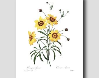 "Farmhouse Chic Decor ""Great Plains Coreopsis"" (Botanical Illustration, Wall Art) --- Pierre Redoute Yellow Flower Print No. 24"