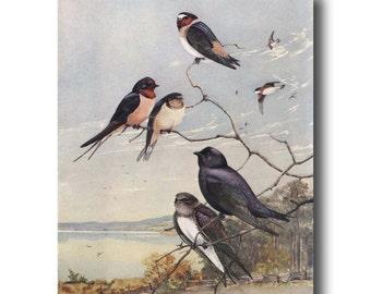 "Rustic Home Decor, Vintage Bird Art -- 1930s Print ""Barn Swallows Return""  Gift for Bird Lovers No. 76"