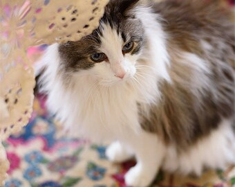 """Maine Coon - Blank Cards - set of 4 (5.5 x 4.25"""" cards)"""