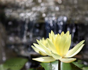 Water Lilies Waterfall Print, Flowers in Water Flower Photography, White Lily Cream Butter Yellow Lotus Plants, Serene Tranquil Office Art