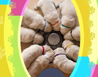 Puppy ID Bands 16 Inch - Litter Identification Collars for Giant Breed Older Puppies