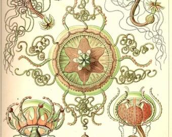 Jellyfish print poster. Nautical illustration. Botanical print. Ernst Haeckel. Vintage jellyfish poster. Medusa. Medusa print. Medusa poster
