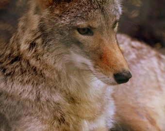 Wolf, nature photography, wildlife photography, wall art, home decor,