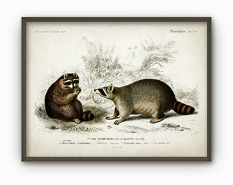 Raccoon Antique Illustration Wall Art Poster - Vintage Animal Home Decor - Rustic Cabin Wall Art Print (B148)