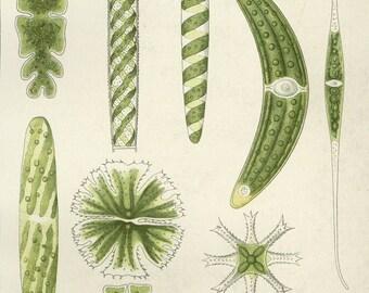 "Matted Antique Algae Print C. 1900 Lithograph Microorganism  Ocean Science  Beach Decor 11x14"""