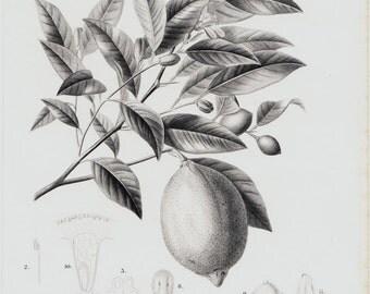 1849  Antique lemon tree print.  Fine old botanical lithograph