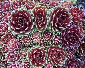 "Commander Hay Hens & Chicks - Sempervivum - Very Hardy - 2"" Pot"