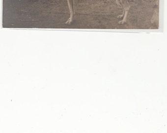 RPPC Whippet Dog On Leash 1910 Postcard Unused.
