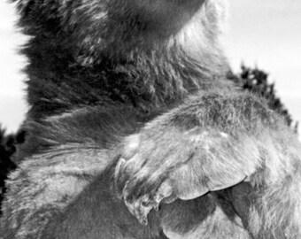 Grizzly Bear Poster, Kodiak Bear, Huge Paws, Alaska, Alaskan Brown Bear