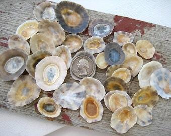 Limpet Sea Shells, 35pcs, Beach Decor, Craft Shells, Genuine Sea Shells, Beach Finds, Embellishments, Limpets, Craft Supplies, Art Supplies