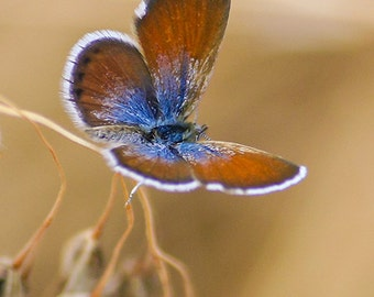 Rustic Butterfly Photography, copper brown & sapphire blue butterfly photo, nature photography, butterfly gifts, fine art print