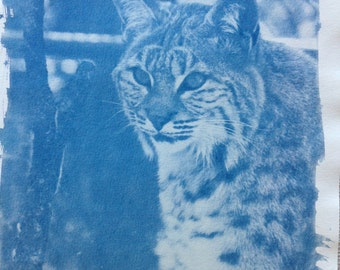 "Cyanotype Print: ""Bobcat"""