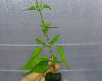Calea zacatechichi Dream herb- Live Plant
