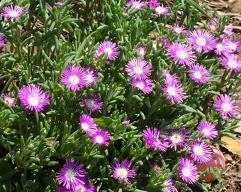100 Delosperma Stardust Perennial Seeds Ground Cover Iceplant Seeds