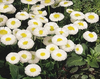 25 Pelleted Seeds Bellis Speedstar White English Daisy