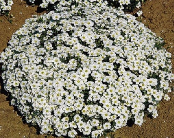 Arenaria Sandwort Seeds Mountain Sandwort 50 Seeds