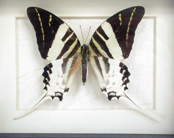 Real Framed B&W Butterfly - Giant Swordtail - Graphium Androcles