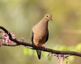 Mourning, Dove, doves, bird, birds, photo, print, art, nature, wall art, home decor
