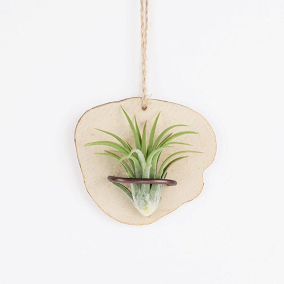 Wall hanging natural wood planter with air plants by by for Air plant wall hanger