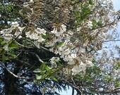 New Home Garden 200 Seeds Empress Tree,White Paulownia Fortunei,Paulownia Tomentosa Tree Seeds