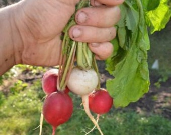 Radish Mix 4 varieties, 100+ heirloom seeds