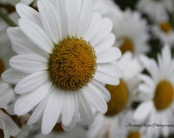 Daisies Photo Print