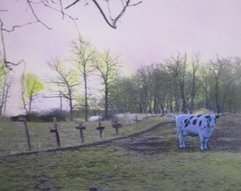 How Now Blue Cow
