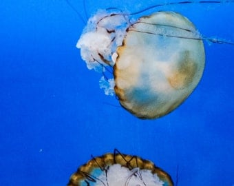 Photography-Large jellyfish swimming