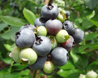 Choose (6) Six Edible Fruit Plants for 28.99