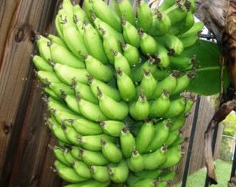 """Banana Plants """"Dwarf Cavendish"""" Includes Four (4) Plants"""
