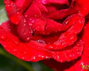 F2 Rose in the rain