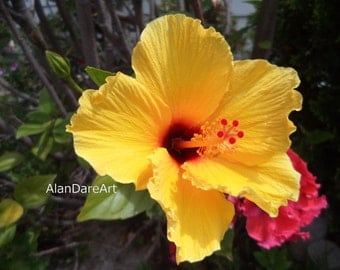 Yellow / red hibiscus, original flower photography, wall art