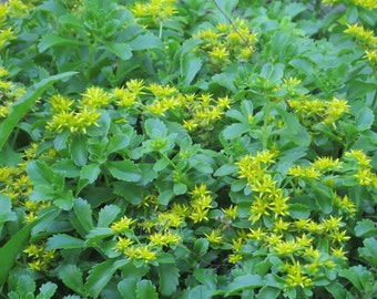 Stonecrop (Sedum Kamchatka) - perennial plants - live plants - ground cover - yellow flowers - sedum for shade - garden plants - flowers