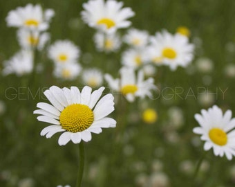 Daisies in a Field- Digital Download - Photography by GemShort Photography