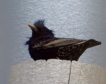 Starling, Perching Bird, Song Bird, Black Plummage, Metal Print, Photograph, Photo Print, One of a Kind