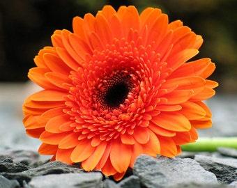 Orange Daisy on Shale - Digital Download