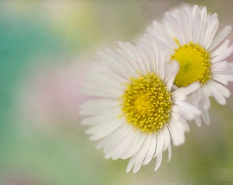 White Daisy Print, Nature Photography,   Floral Art Print,  Flower Photo,  Cottage Chic Wall Decor