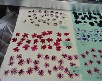 Choose your Verbena Flowers Grown, Pressed and Preserved in Alaska 53 FL