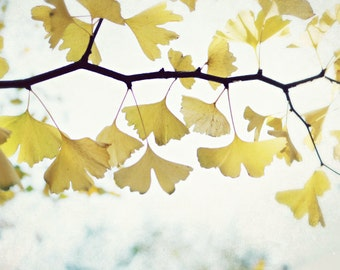 "Nature photography / Ginkgo tree leaves / white yellow gold / minimal nature wall art / fine art nature photography  ""Grateful"""