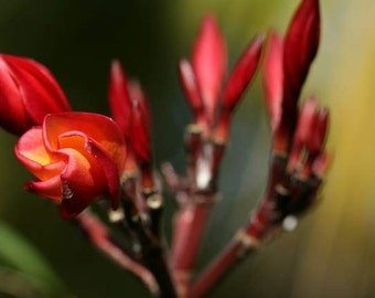 Bali Flora - Claw (exotic closeup macro floral photography print, red claw weird shape Asian Indonesia travel nature photo print wall art)