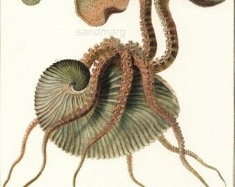 Mollusc Natural History Chart Argonauta Argo Italian Giuseppe Saverio Poli