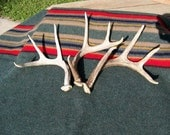 Three Natural Shed Whitetail Deer Antlers