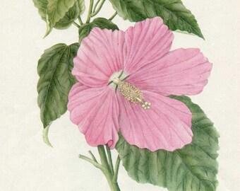 Vintage 1953 Rose Mallow Flower Perennial Plant, Botanical, Floral Print for Framing, American Wildflower, Big Pink Blossom