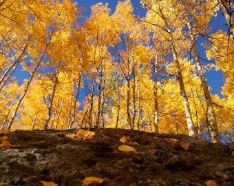 Colorado aspens protography, aspens print (free shipping)