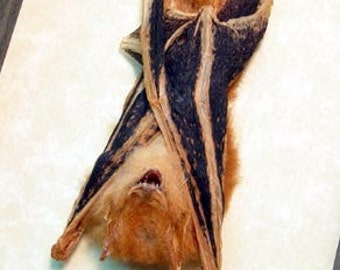 Real Framed Taxidermy Bat-Kerivoula Picta Resting B1331