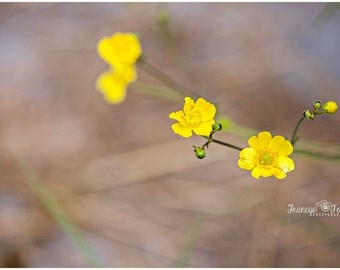 Spring Yellow Buttercups Flower Fine Art Canvas wrap- wild flowers