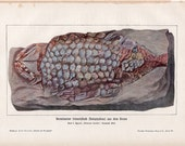 1900 FISH FOSSIL print original antique ancient sea life lithograph