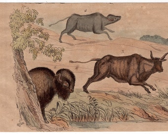1835 buffalo bison print rare original antique hand colored engraving - exotic nature scene
