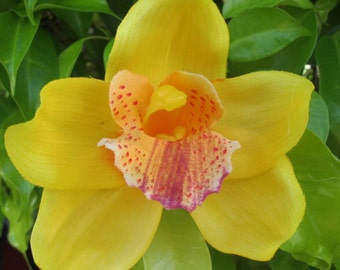 Hawaiian Yellow Orchid  hair Flower clip